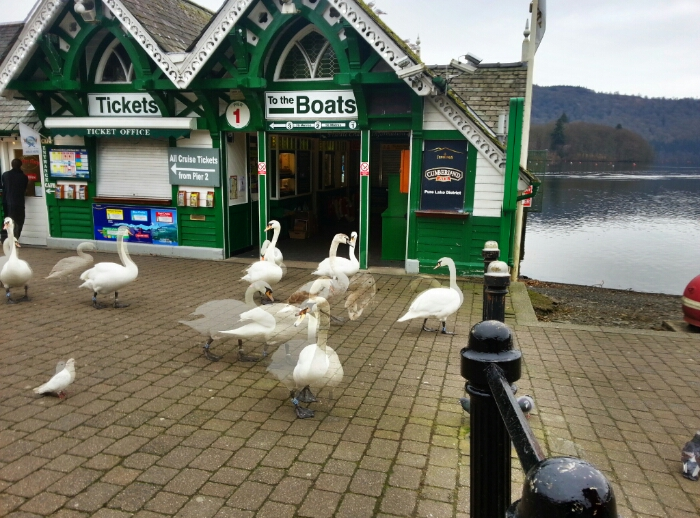 Swans at Bowness pier the birds rule the roost here